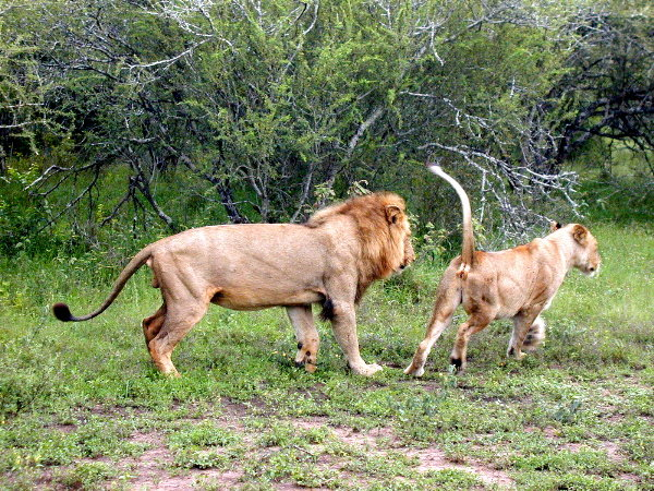 Huge Tigers and Lions in Lion vs Tiger Discussion Forum